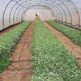 engrais vert - ferme semenciere