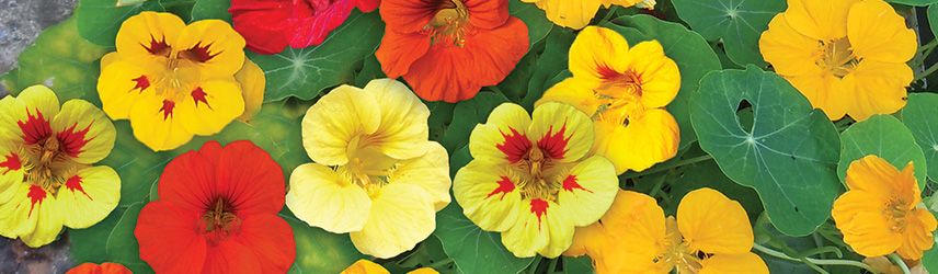 semences bio de fleur culture en pot ou potager