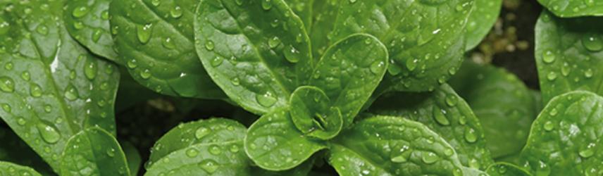 semences bio de mâche culture en pot ou potager