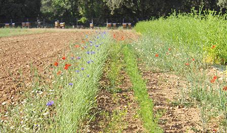 Fleurs messicoles - semences bio