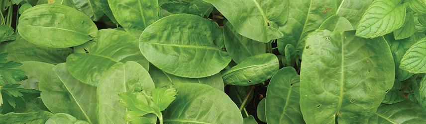 semences bio de oseille culture en pot ou potager