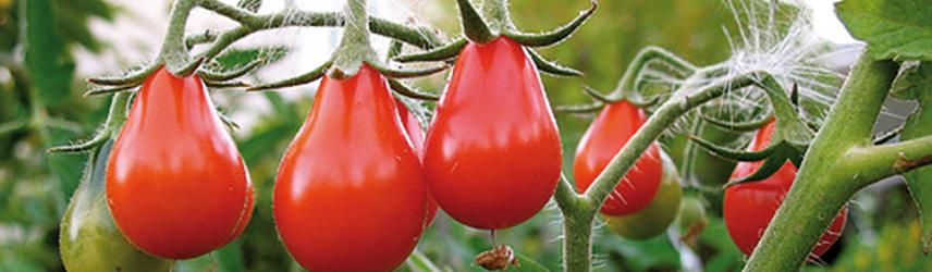semences bio de tomate culture en pot ou potager
