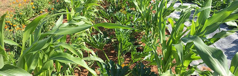 Courgette Gold Rush, maïs Basque, semences bio