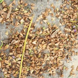 fleurs de sauge semences bio