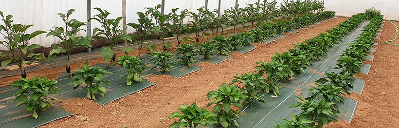 aubergine de Barbentane et poivron Yolo wonde, semences bio