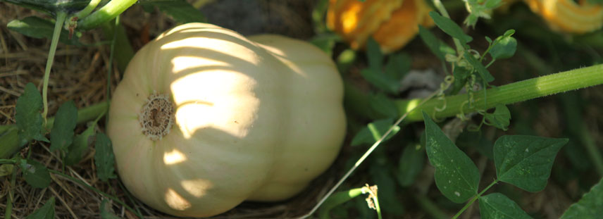courge - semences bio - La semence bio