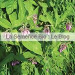 Consoude officinale bio semences potager