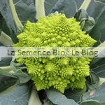 semence bio Chou-fleur Romanesco - potager aout
