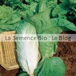 Chicorée - semences bio