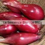 semences bio oignon