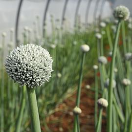 ferme semencière - semences bio oignon rouge