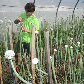 semis oignon - ferme semenciere