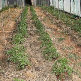 semence bio tomate - ferme semenciere