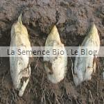 endive - semences bio