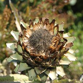 artichaut - ferme semencière