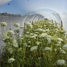semences de carotte bio