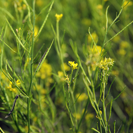 mizuna - ferme semencière