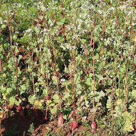 radis - ferme semencière