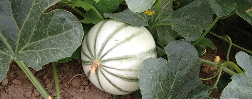 recolte - semences bio - melon