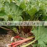 semences bio rhubarbe bio