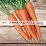 semences bio carotte