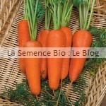 semences bio de carotte
