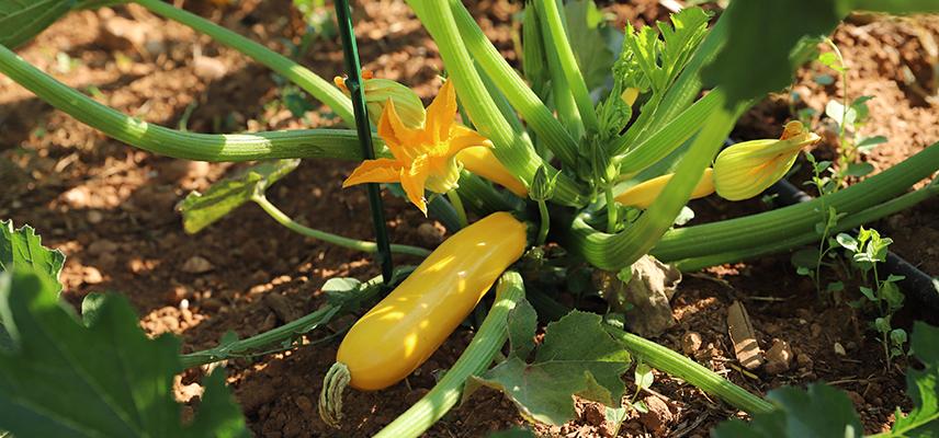 recolte - semences bio - courgette