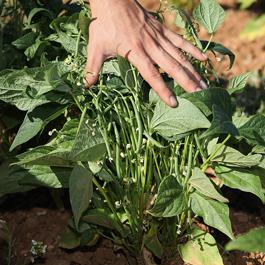 Ferme semencière bio - Haricot Slenderette