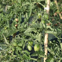 Ferme semencière bio - Tomates Prune Noire