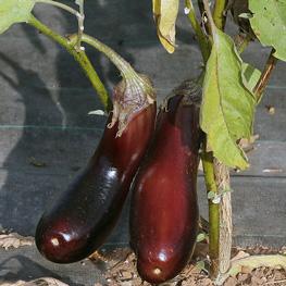 Aubergine de Barbentane - semences bio