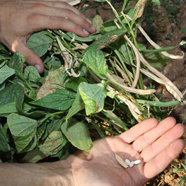 Haricot Slenderette - semences bio