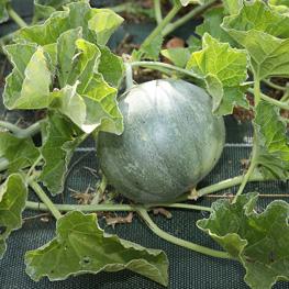 Melon précoce du Roc - semences bio