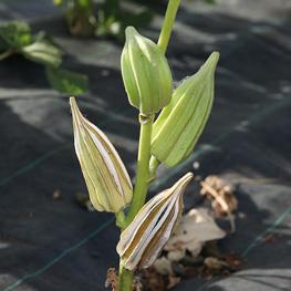 semence bio Okra - gombo