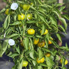 Poivron Mini bell yellow - semences bio