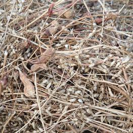 Les siliques de radis - semences bio