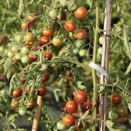 Tomate Cerise - semences bio
