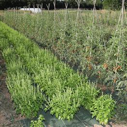 Basilic & Tomate