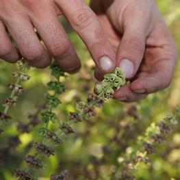 semences bio basilic genovese