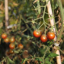 semences bio Tomate cerise Black Cherry