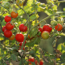 semences bio Tomate cerise rouge