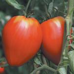semences de tomate tardive bio