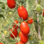 semences de tomate rouge bio