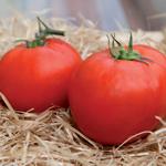 semences de tomates precoce bio