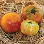 Semences de tomate bio