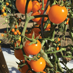 semences tomate bio