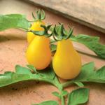 semences de tomates bio