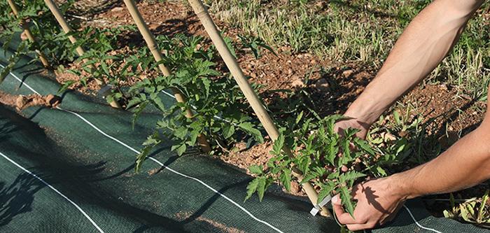 repiquage de tomate bio
