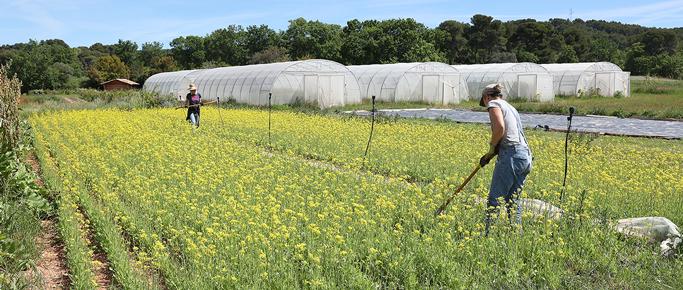 ferme semenciere bio - mizuna