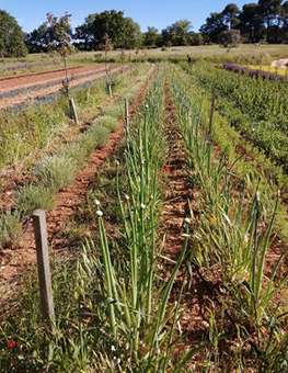 Ferme semenciere bio - Oignon rouge de Simiane