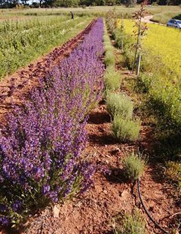 Ferme semenciere bio - Sauge officinale